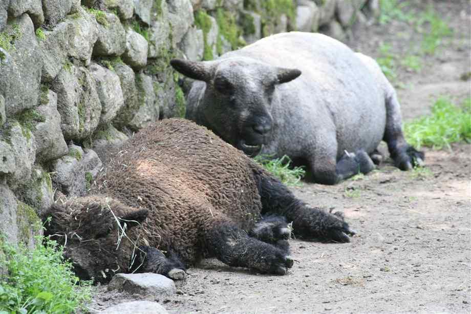 spiaca ovca